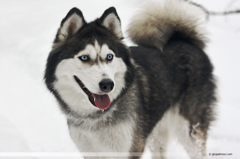 siberian husky, sibirski haski, sneg, winter, zima, snow,  