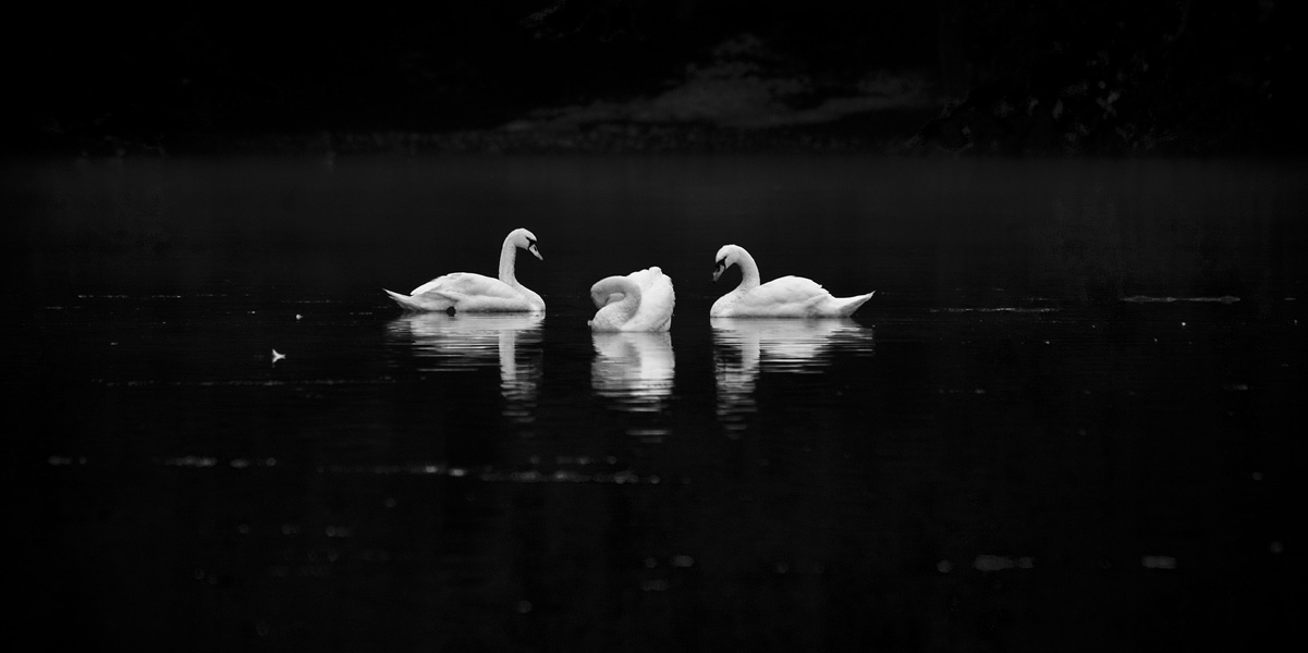 swan lake copyright © goran kojadinovic